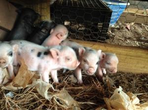 Sweet Basil Micro Mini Piglets